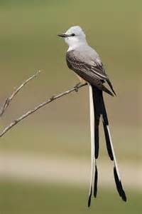 sciccortail_flycatcher.jpg